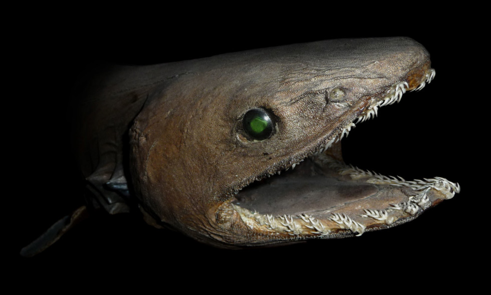 کوسه چین دار Chlamydoselachus Anguineus موجود عجیب اعماق اقیانوس